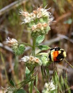 Bumblebee on a fiddleneck