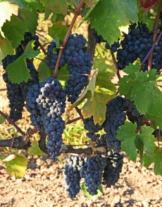 Wine grapes in Lodi, California