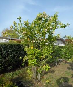 HLB Positive Citrus Tree Hacienda Heights Area