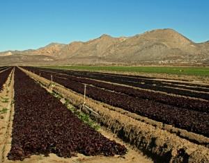 Field of baby lettuce