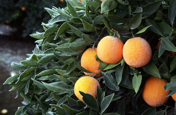 Frosty oranges growing on a branch