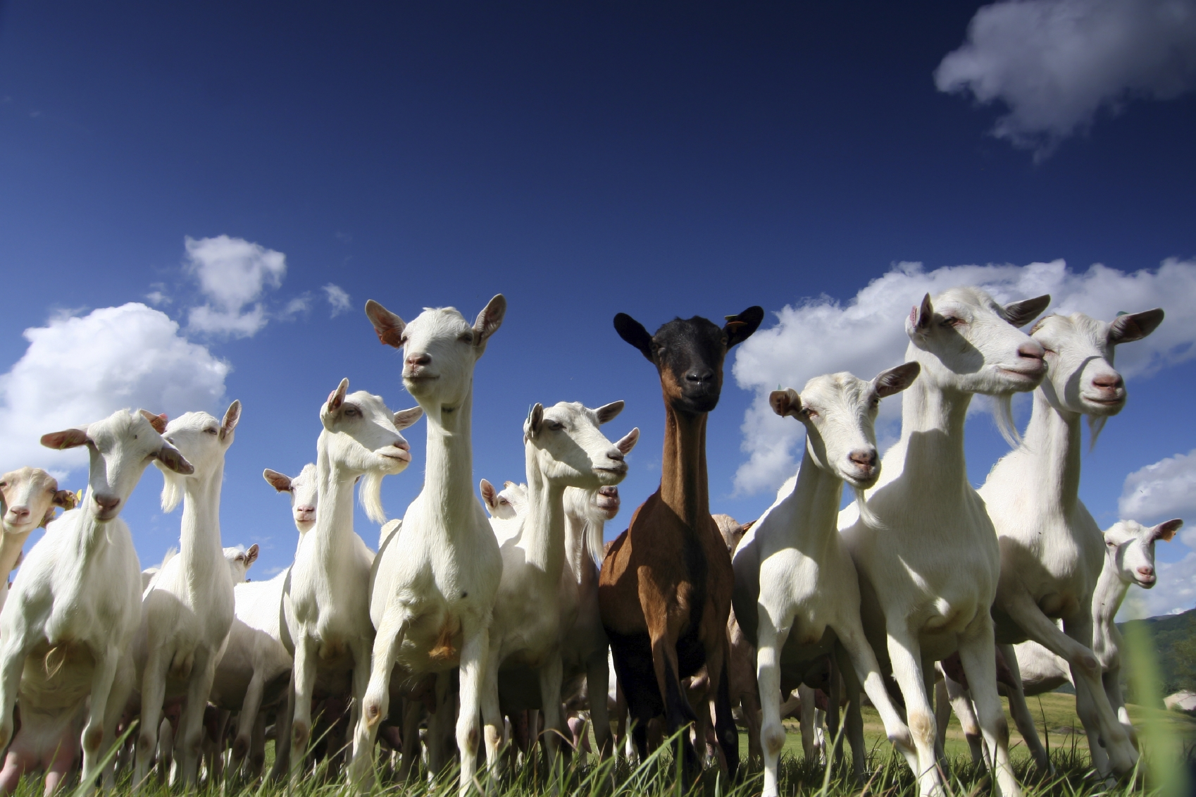 A large group of goats