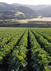 Photo of broccoli field