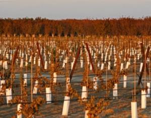 Kern Co New Vines