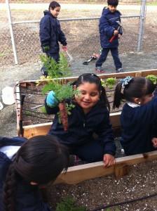 It's carrot season at a school garden in Pittsburg, CA