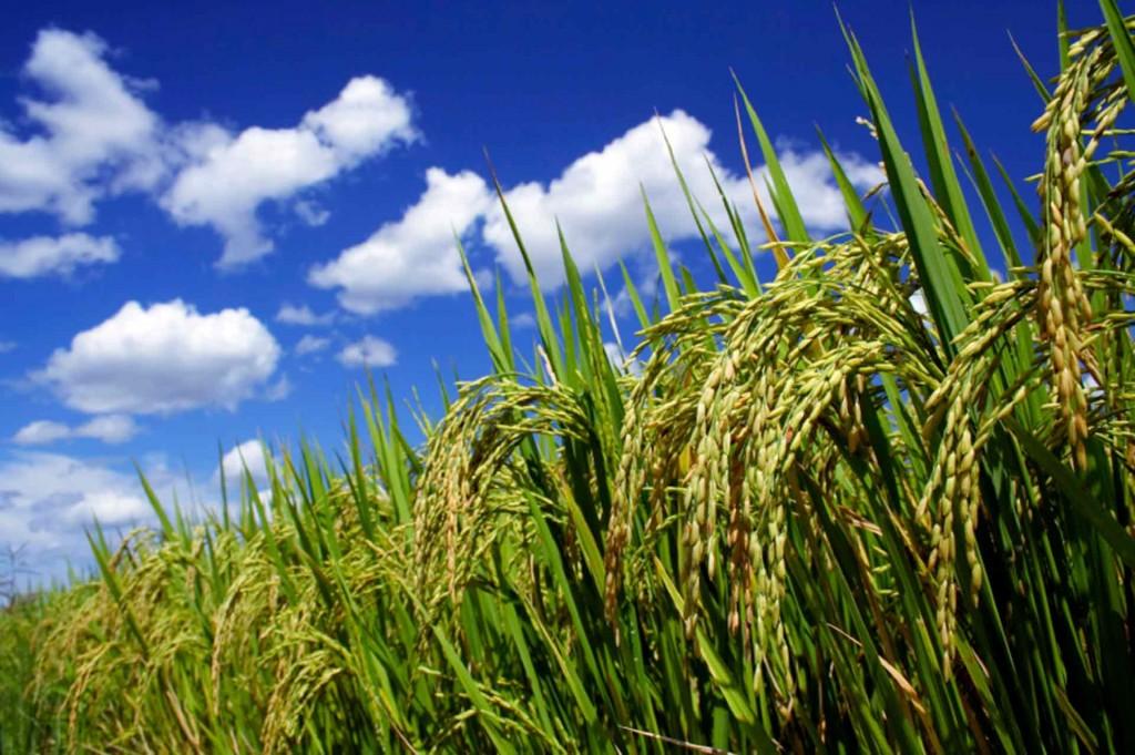 Rice-Field-SM1