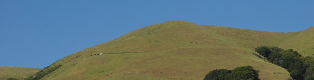 Dairy cows on a Marin County hillside.