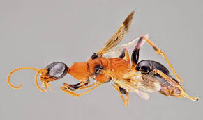 "Ampulex dementor, the ""zombie wasp."""