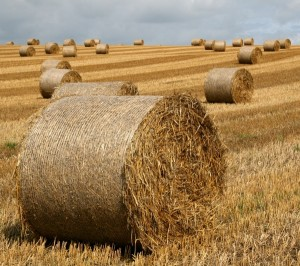 Round hay bales in the fields