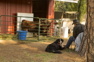 Animals evacuated from fire zones are often housed at local fairgrounds.