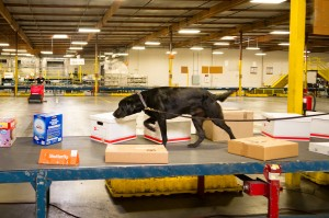 "Detector dog ""Cairo"" on the job inspecting packages at a parcel facility."