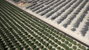 A field of dead almond trees is seen next to a field of growing almond trees in the Central Valley. REUTERS/Lucy Nicholson - RTX1BWMI