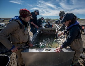 Researchers from UC Davis, CalTrout and Cal Marsh and Farms count, weigh and measure juvenile Chinook salmon that are going into experimental rice fields at Knaggs Ranch on the Yolo Bypass in February 2016. Credit: Carson Jeffres/UC Davis