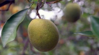 Diseased citrus in Florida.