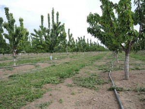 A micro-sprinkler irrigation system in a cherry orchard in San Joaquin County