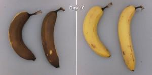 Longer lasting bananans.