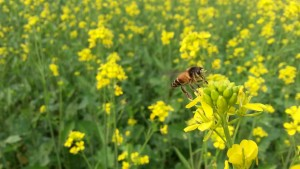 Mustard_flowers_with_bee