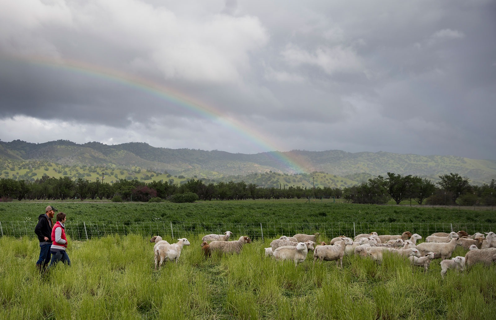 Sheep from Skyelark Ranch graze a field planted with a cover crop in Brooks, Calif.