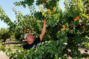 A farmer picks oranges