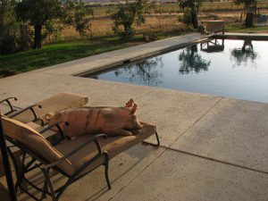 A pig lounging by the pool