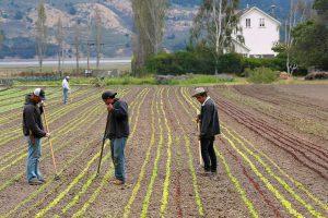 Workers in a lettuce field