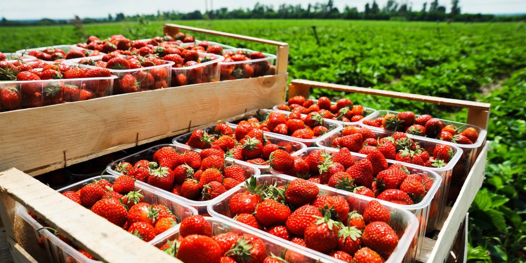The food cold chain keeps strawberries fresh from farm to store to table.