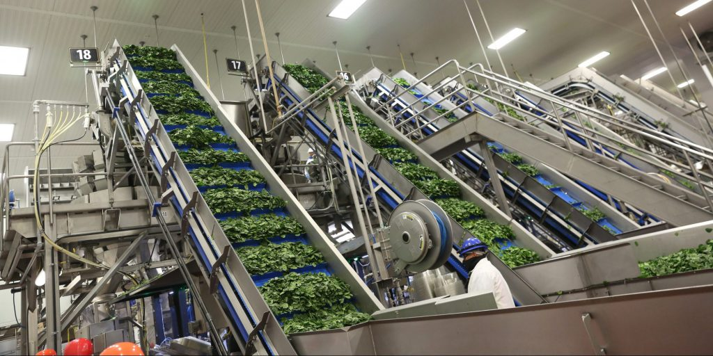 Taylor Farms uses a conveyor system to package lettuce more quickly. Image courtesy of Taylor Farms.