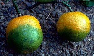 Citrus infected with huanglongbing.