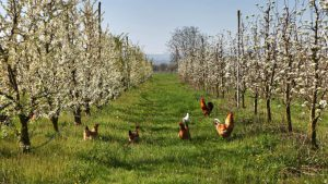 Chickens in an orchard