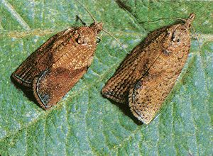 Light brown apple moths