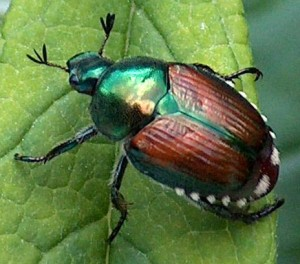 Beetle on a leaf