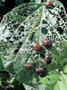 Beetles destroying a leaf