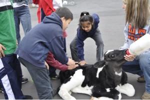 Children bottle-feeding a baby cow