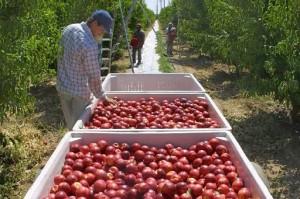 Farmer inspecting tomato harvest