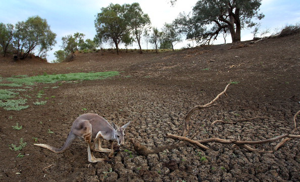 Kangaroo in a very dry river bed