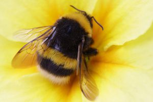 Bumblebee in a yellow flower