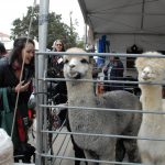 Ag Day attendees admire the alpacas
