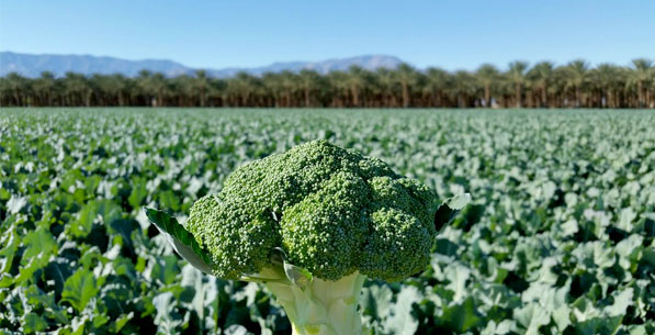 Picture of broccoli in a field