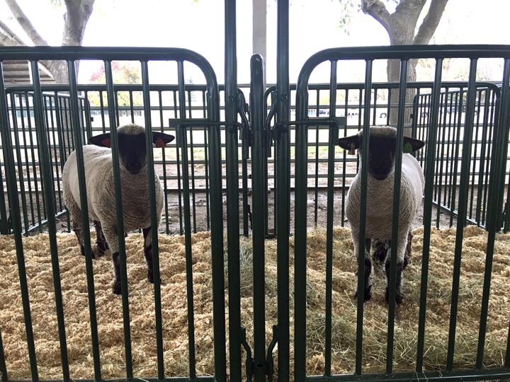 Photo of two sheep in new animal pens that will be used to house rescued and evacuated animals.