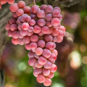 California table grapes on the vine
