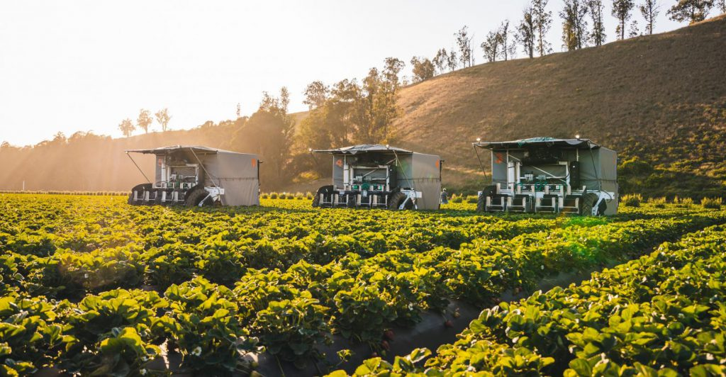 3 robots harvesting strawberries