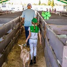 The junior livestock auction in Placer County.